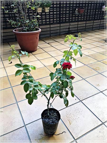 00083-01《我的玫瑰首發-達文西》.JPG