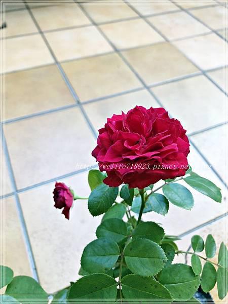 00083-02《我的玫瑰首發-達文西》.JPG