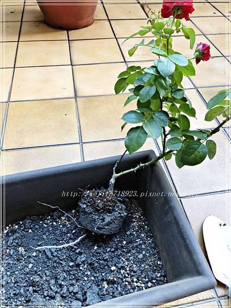 00083-03《我的玫瑰首發-達文西》.JPG