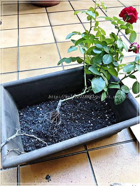 00083-05《我的玫瑰首發-達文西》.JPG