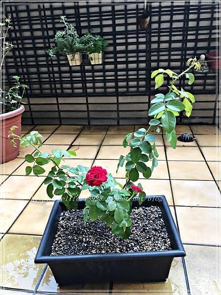 00083-06《我的玫瑰首發-達文西》.JPG