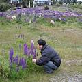 紐西蘭國花-紫色魯賓花