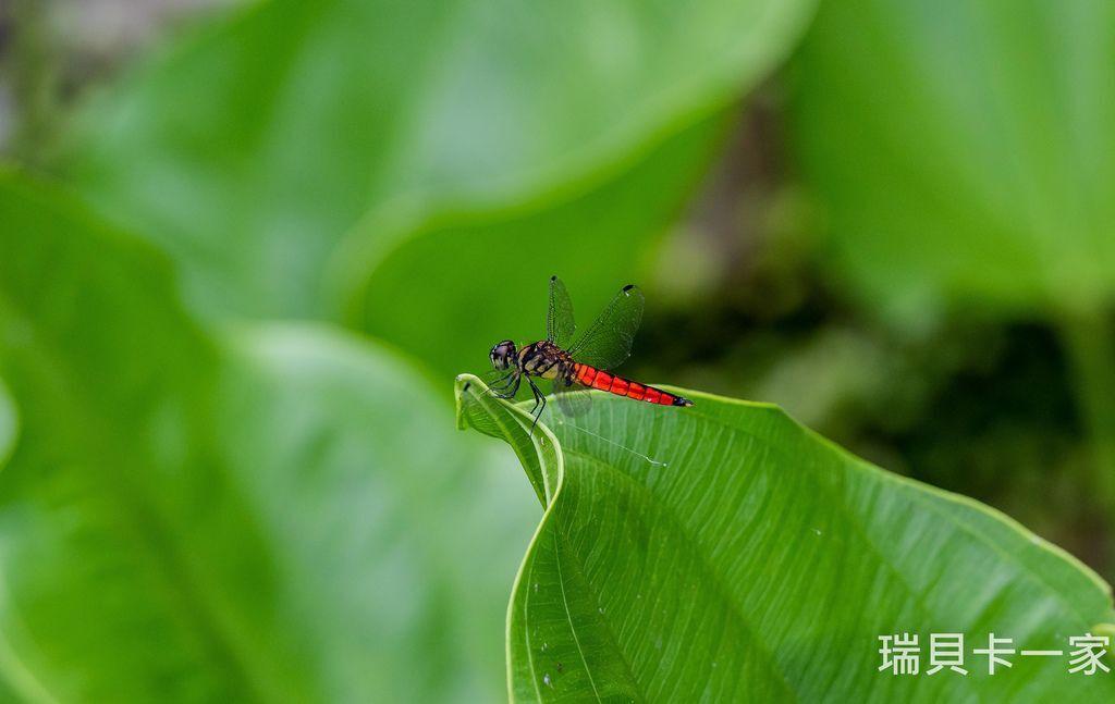蜻蜓 (1).jpg