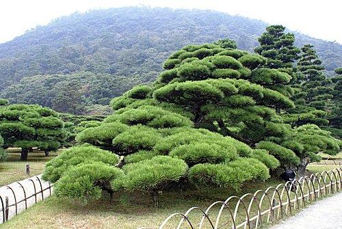 日本五葉松