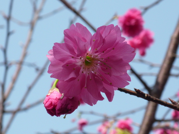 2009.02.11─華潭街﹝櫻﹞ 150.jpg