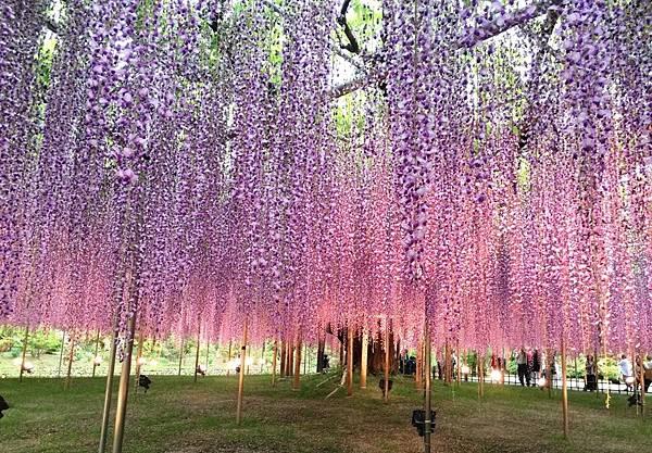足利紫藤園 (3).JPG