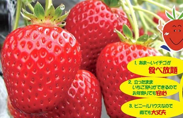 いずみ小川いちご農園3.JPG