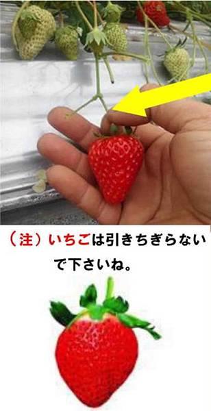 摘草莓方式.JPG