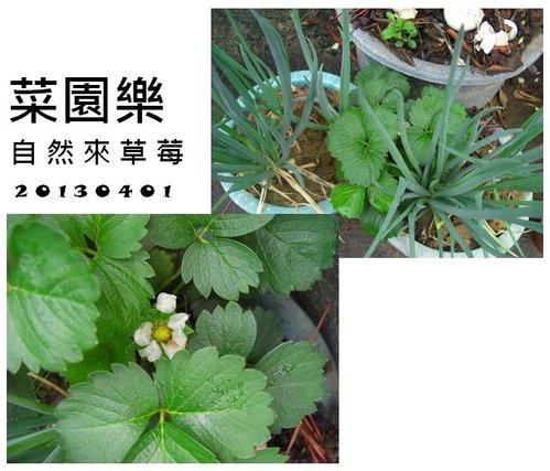 菜園樂 - 自然來有機草莓