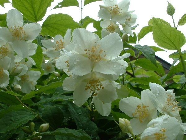 077室蘭-沾滿晨露的花