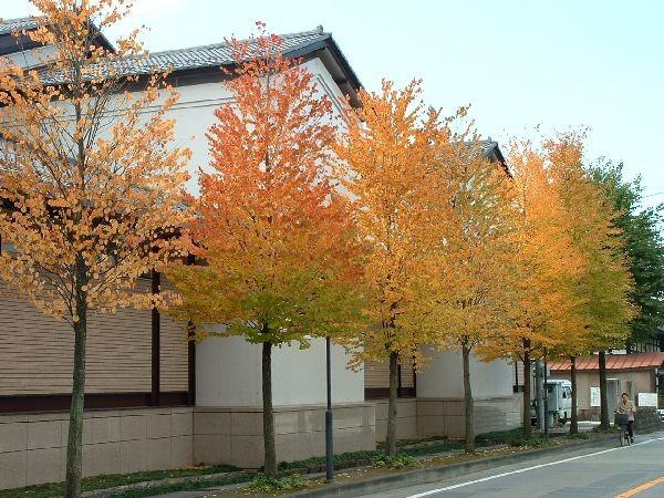 051飛驒古川銀杏