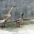 goose-2.jpg