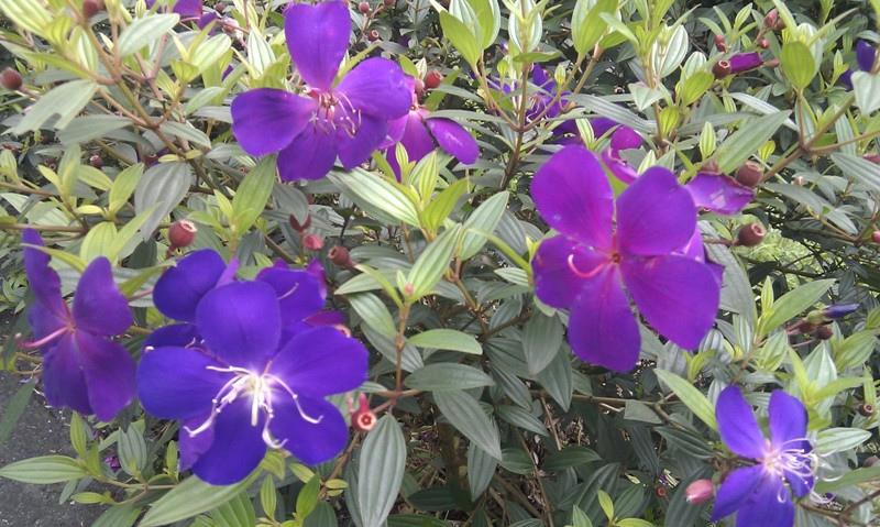 艷紫野牡丹.jpg