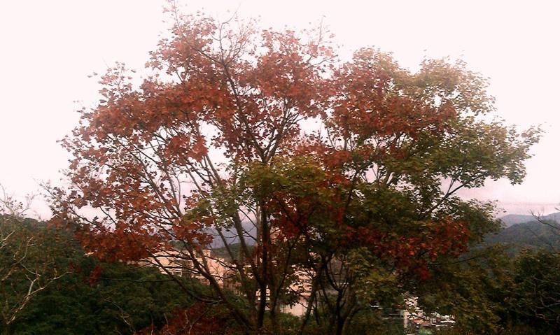紅色楓葉.jpg