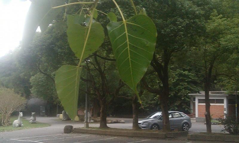 菩提樹.jpg