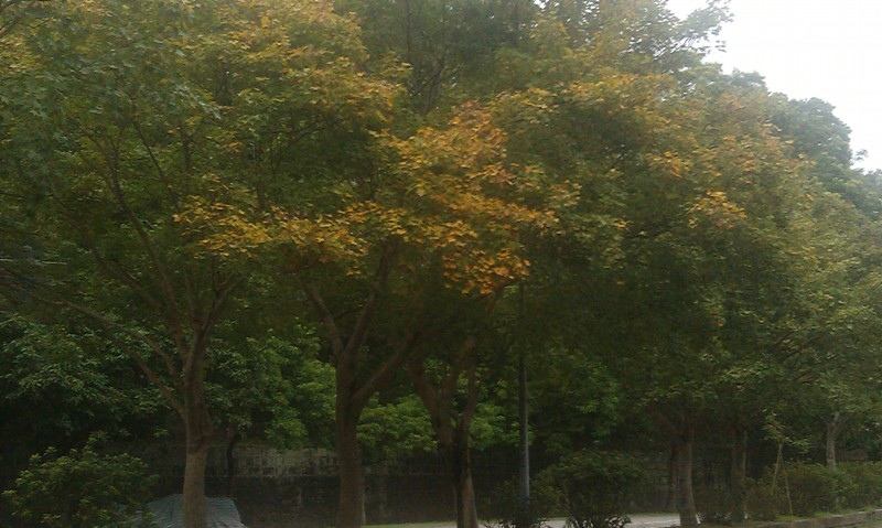 黃色楓葉.jpg