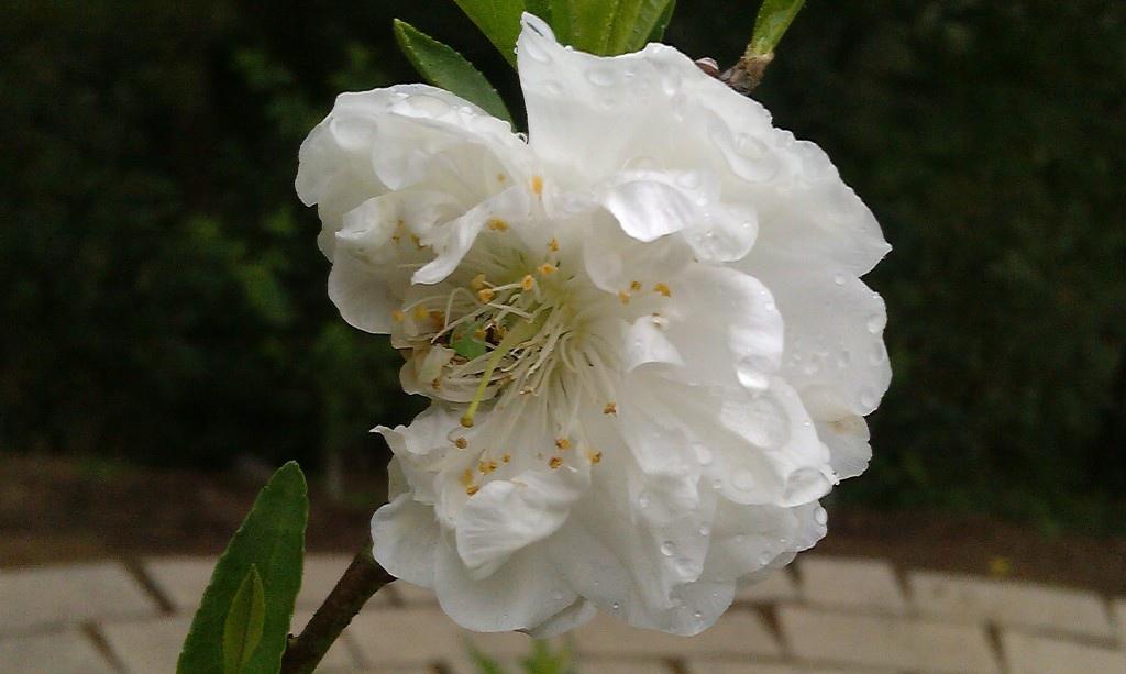 白杏花-2.jpg
