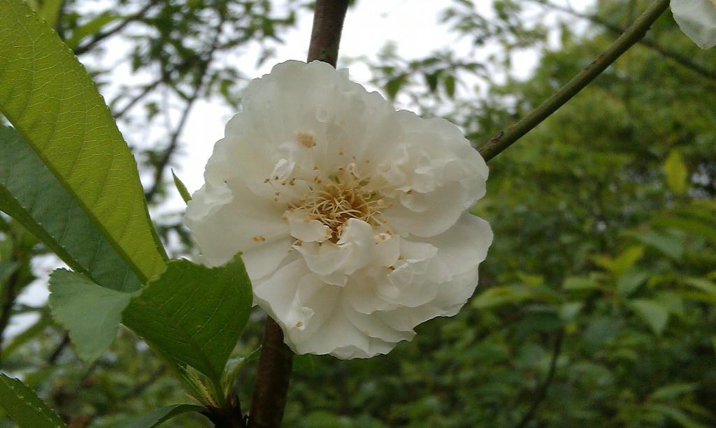 白杏花-1.jpg