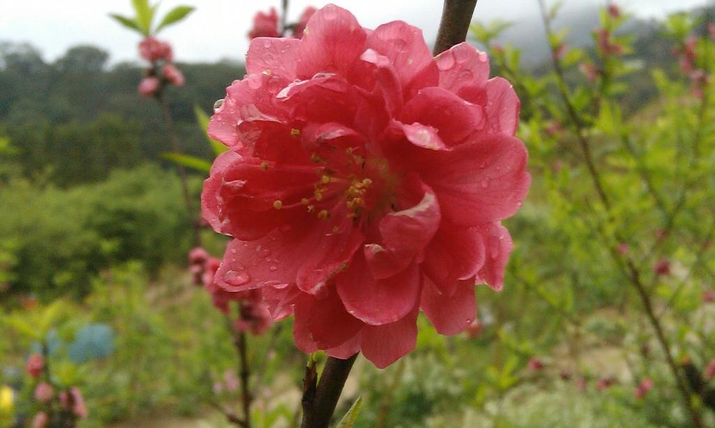 紅杏花-2.jpg