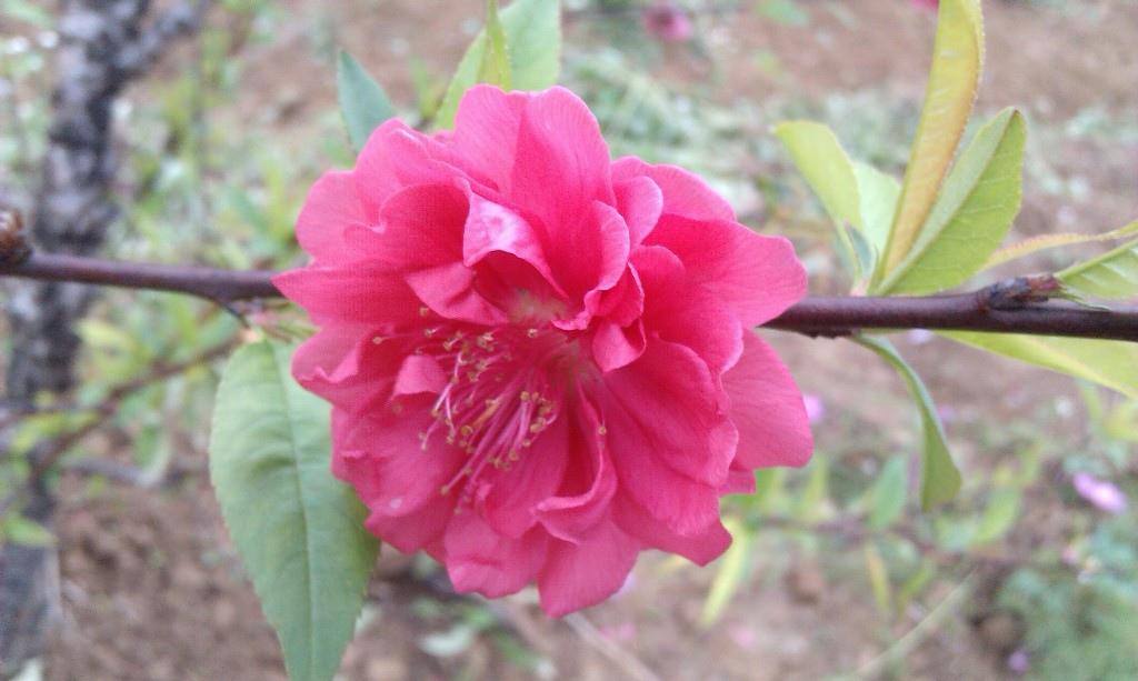 紅杏花-1.jpg