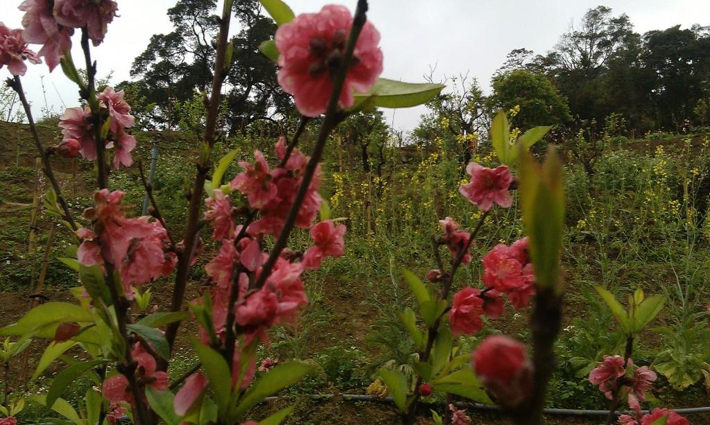 紅杏花-3.jpg