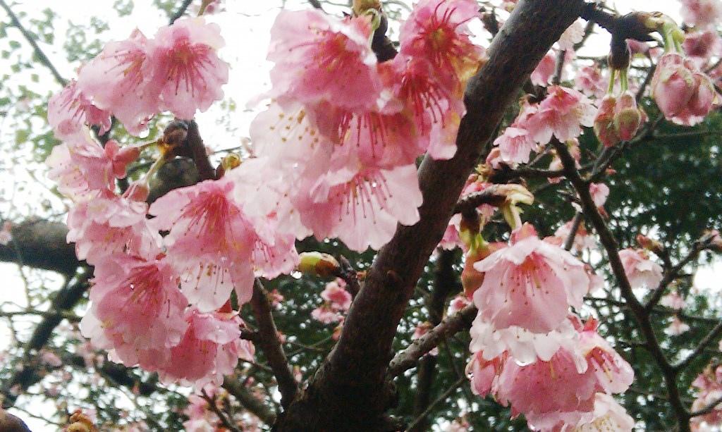 花園新城-櫻2016d.jpg