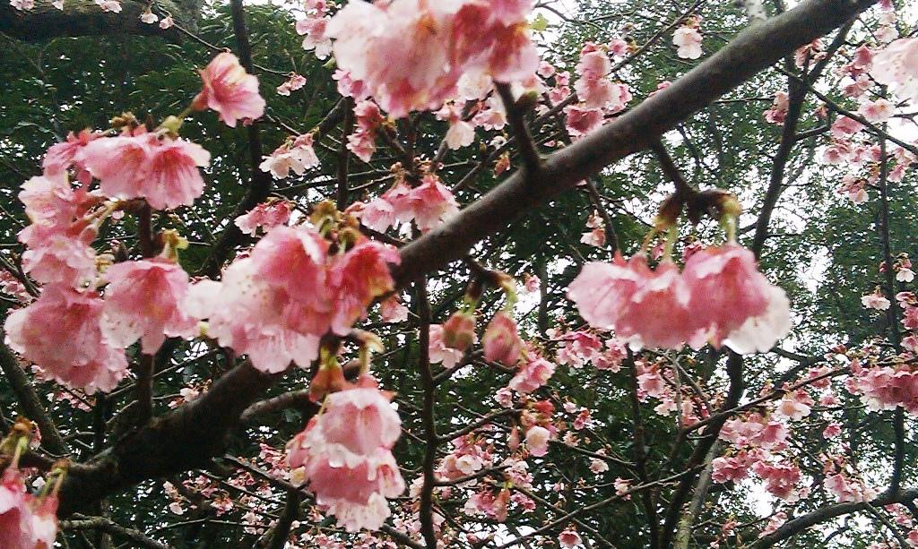 花園新城-櫻2016e.jpg