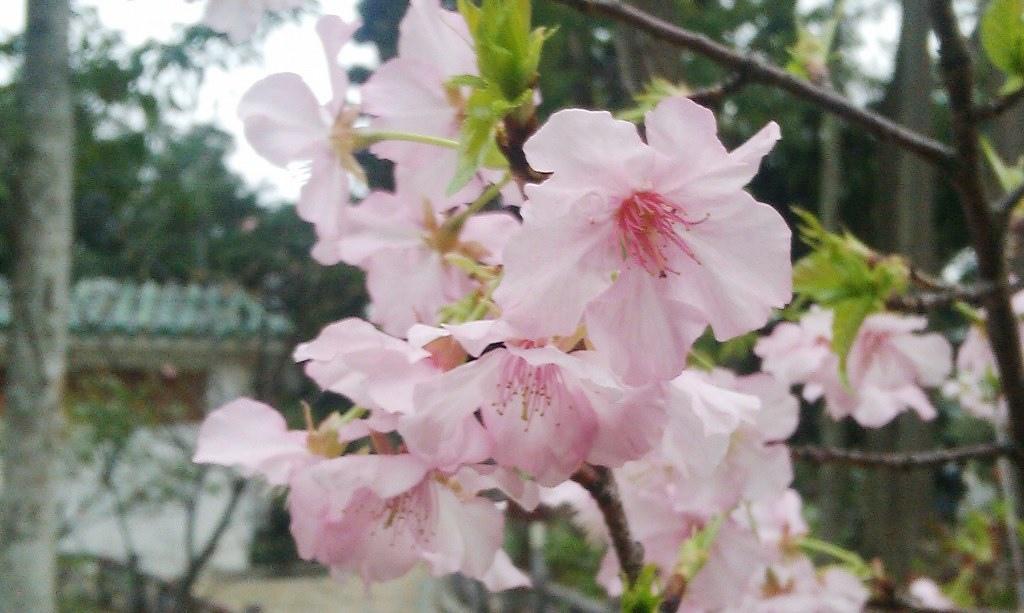 河津櫻-阿房宮2016a.jpg