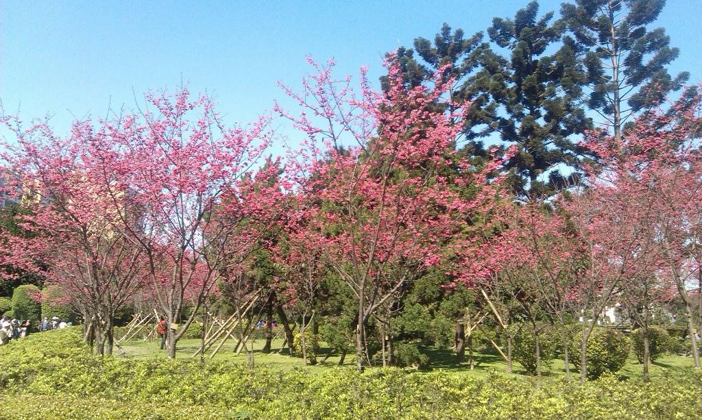 八重櫻-中正堂2016d.jpg