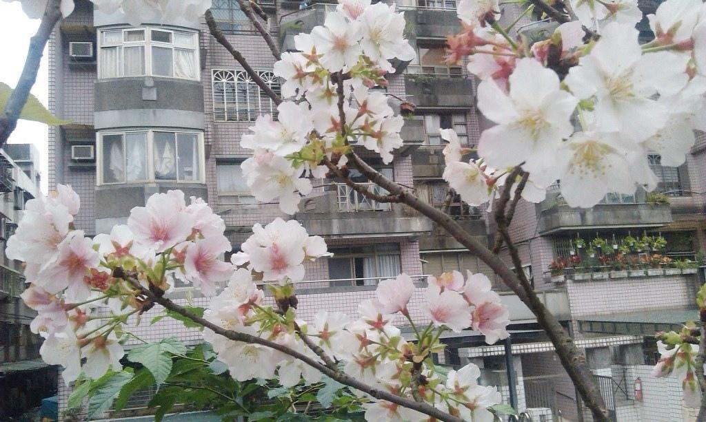 吉野櫻-康樂里a.jpg
