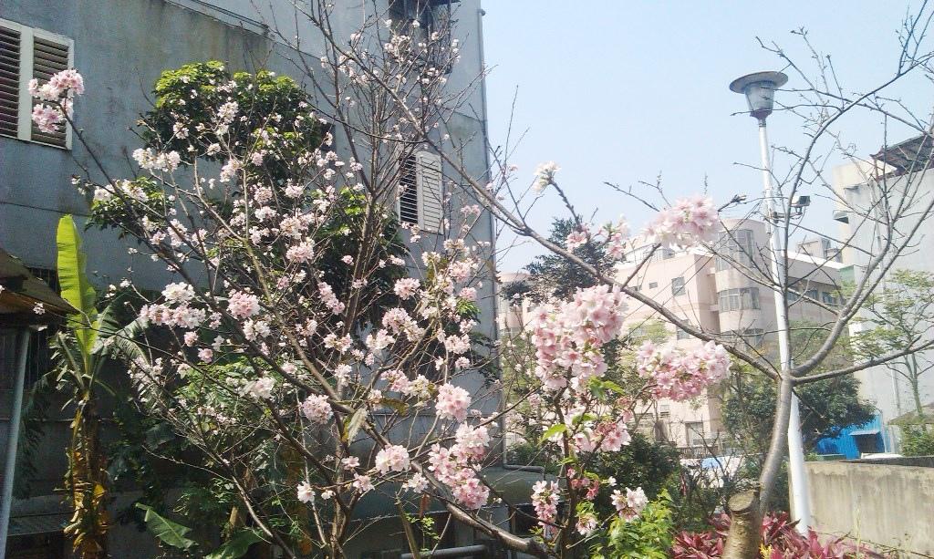 吉野櫻-教練場c.jpg