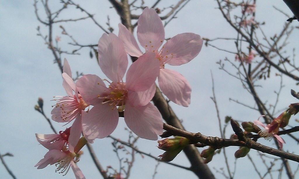 昭和櫻-4.jpg