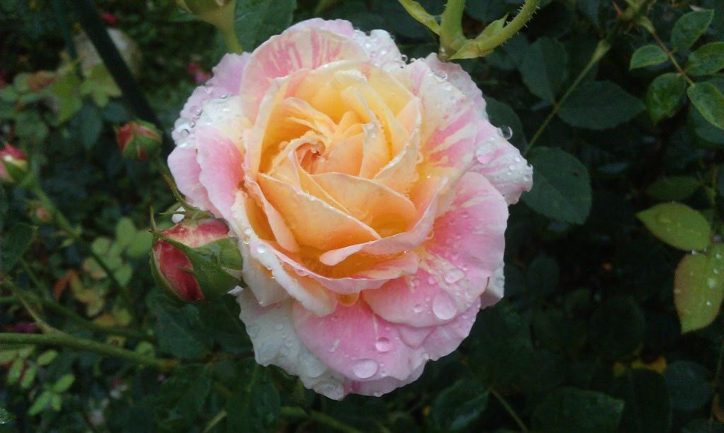 三色玫瑰.jpg