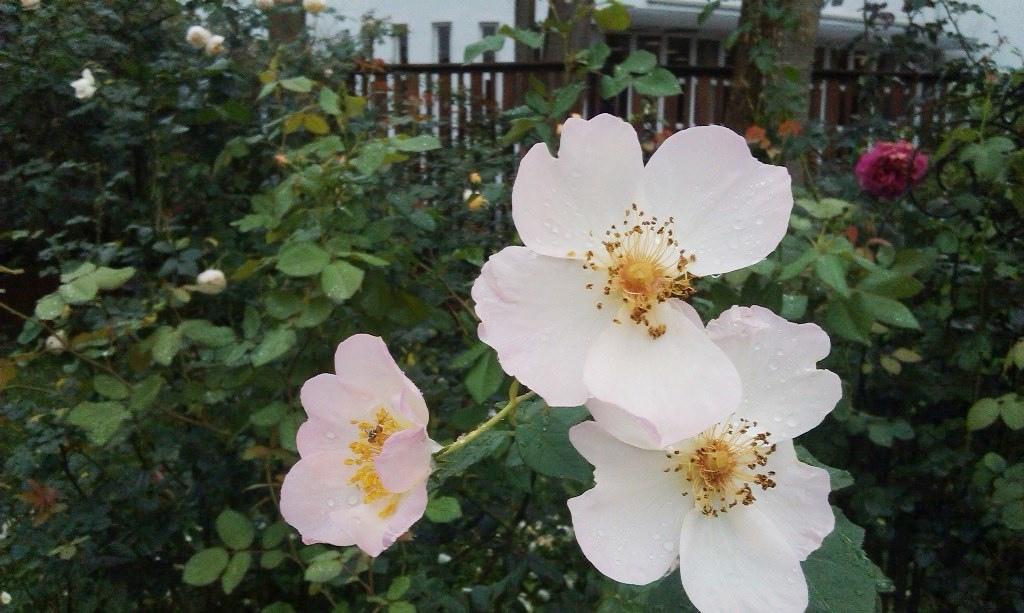 白玫瑰-1.jpg