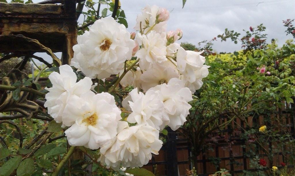 白玫瑰-2.jpg