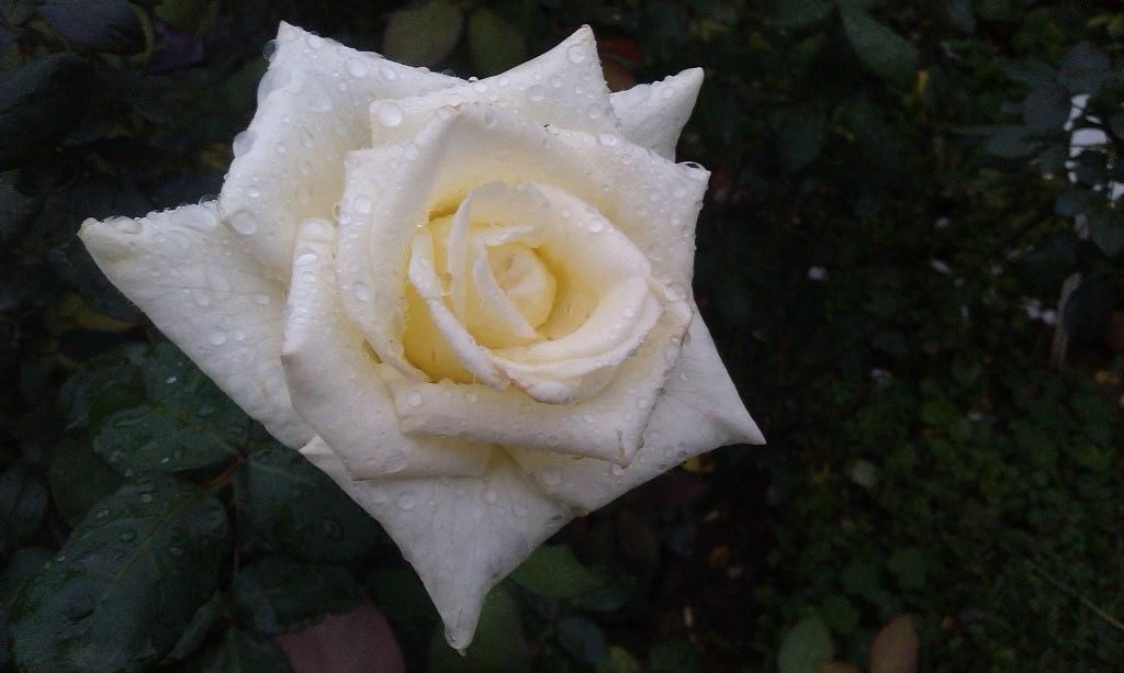 白玫瑰-3.jpg
