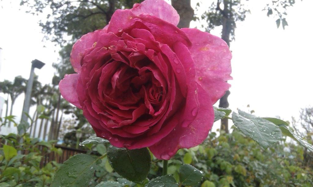 紅玫瑰-1.jpg