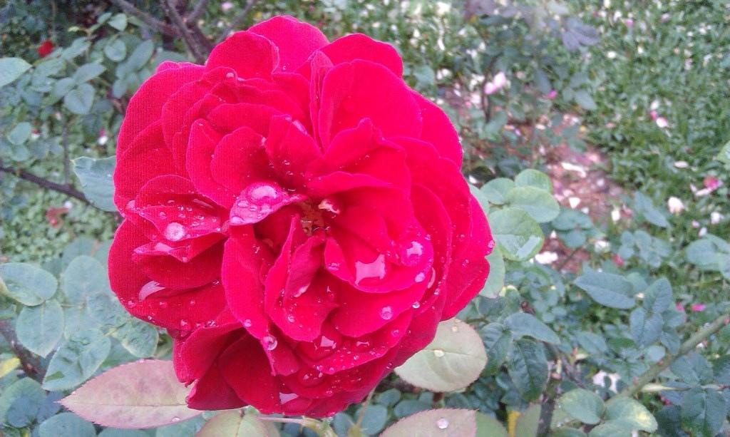 紅玫瑰-2.jpg