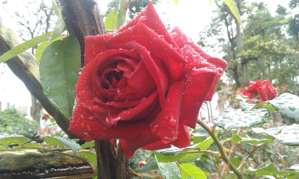 紅玫瑰-3.jpg