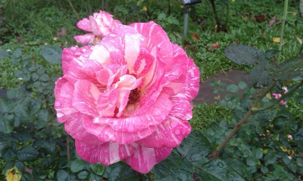 粉紅玫瑰-1.jpg