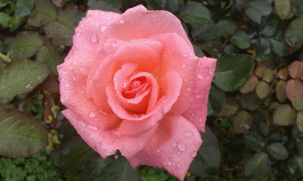 粉紅玫瑰-2.jpg