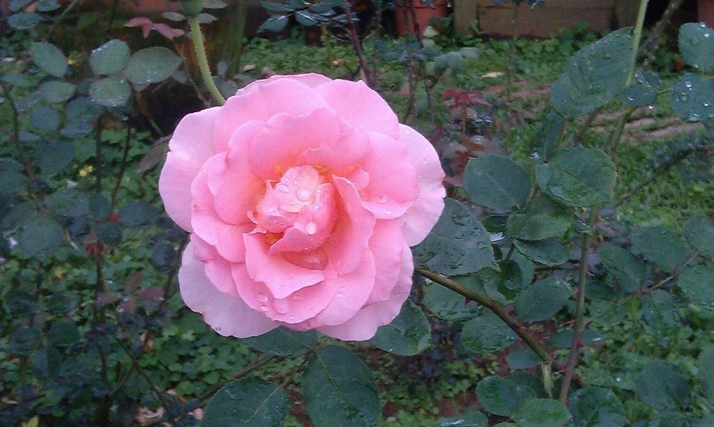 粉紅玫瑰-3.jpg