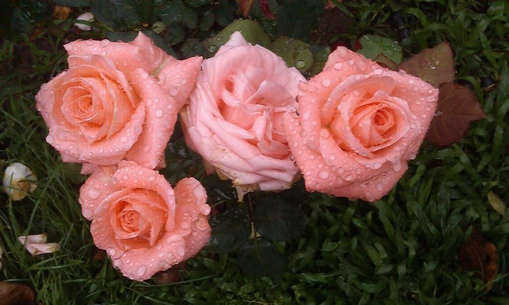 粉紅玫瑰-4.jpg