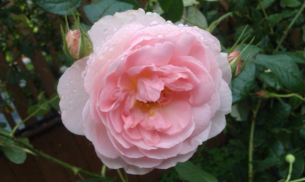 粉紅玫瑰-5.jpg