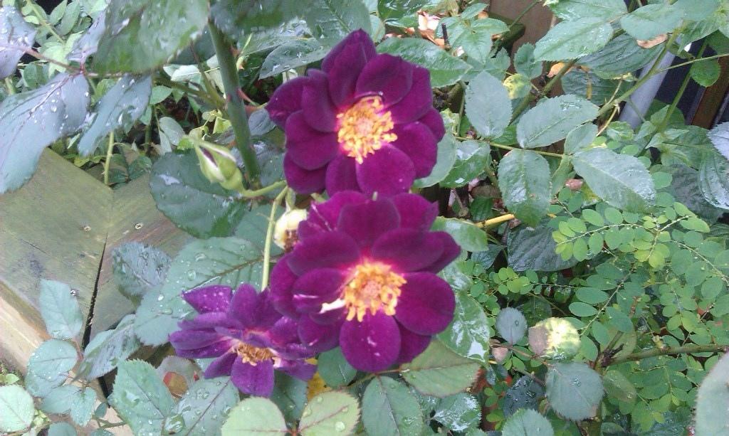 深紫色玫瑰.jpg