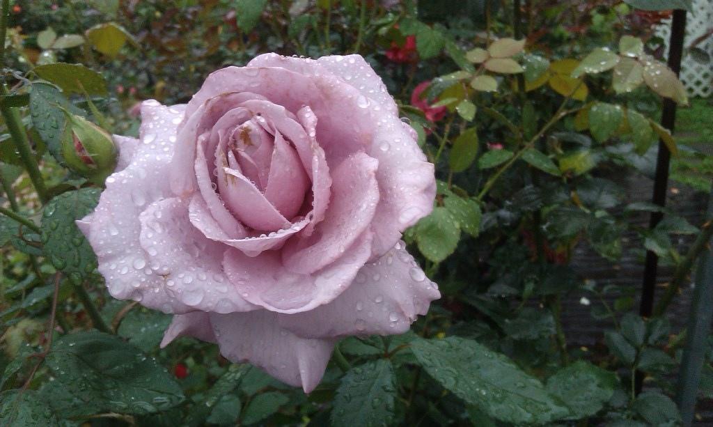 淺紫色玫瑰.jpg