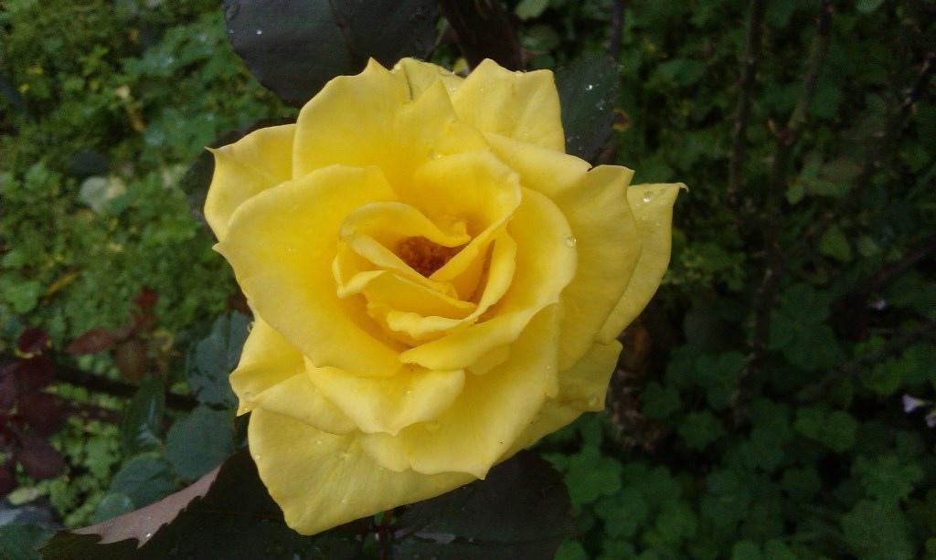 黃玫瑰-1.jpg