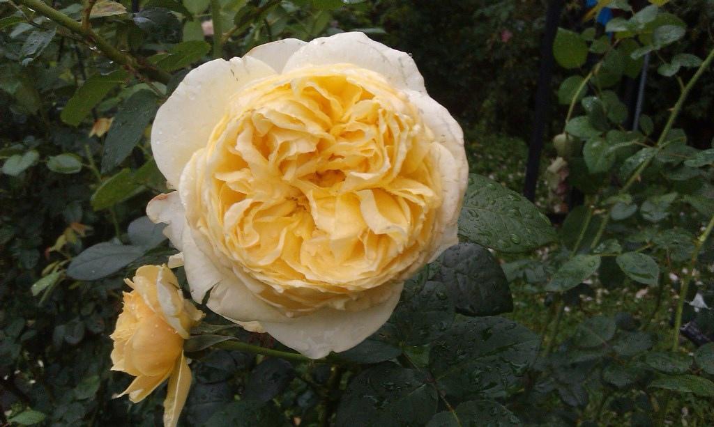 黃玫瑰-3.jpg