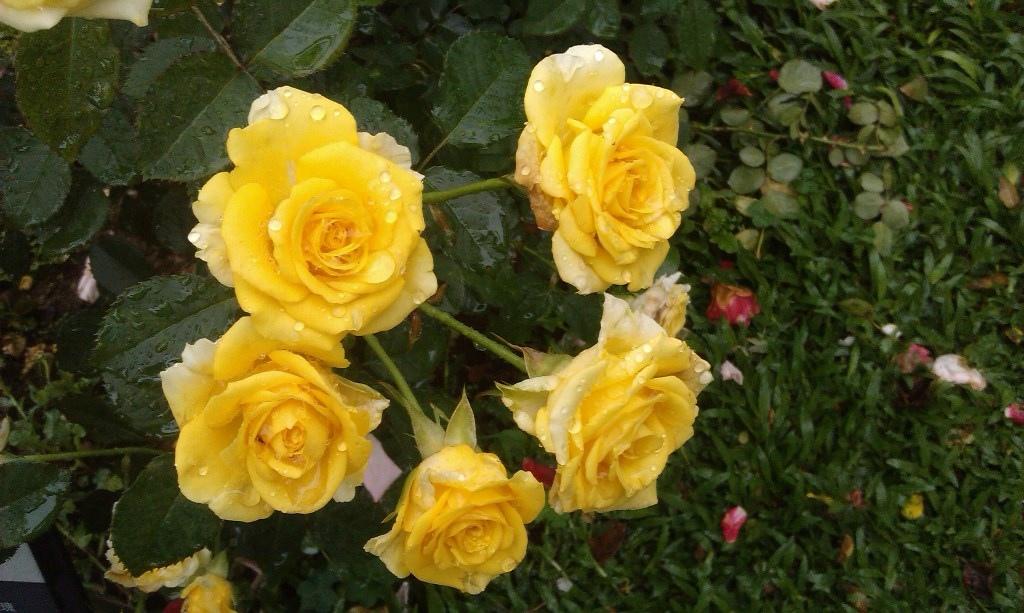 黃玫瑰-2.jpg