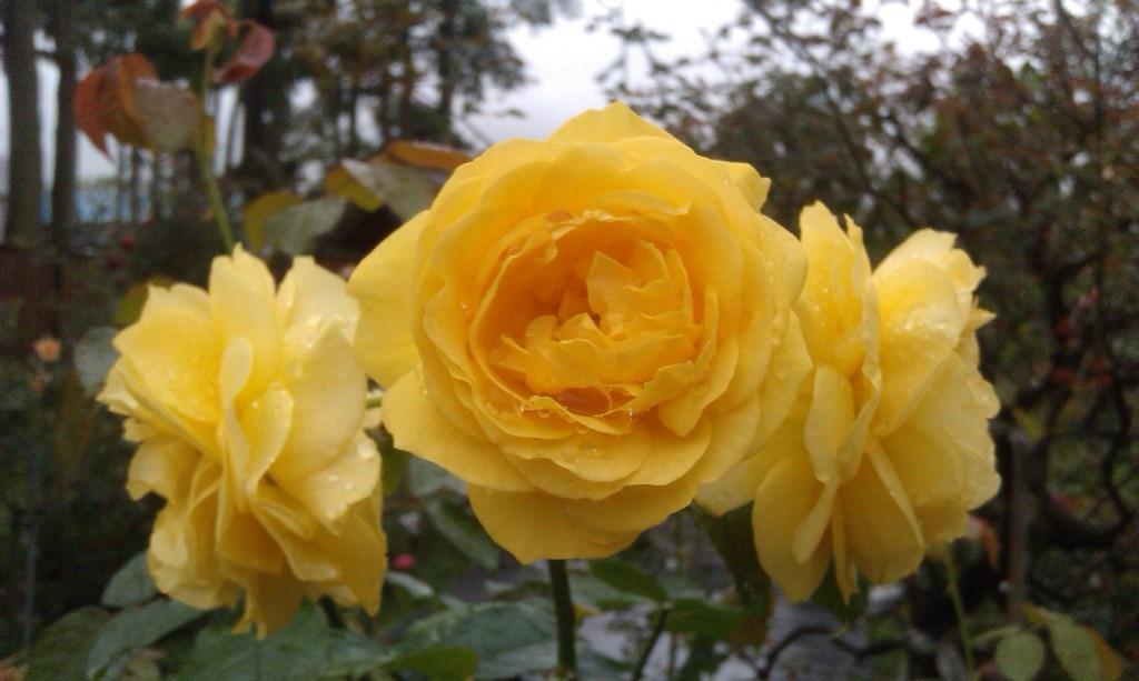 黃玫瑰-4.jpg